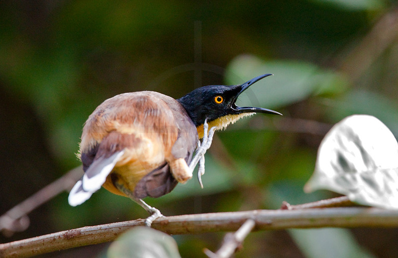 Black-capped donacobius scratching itself, Yasuni National Park, Ecuador