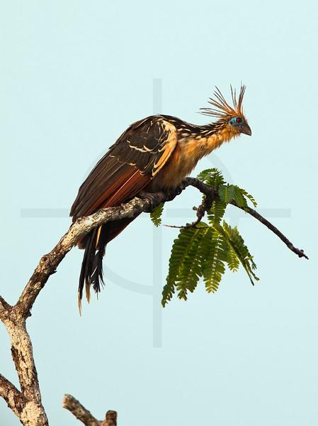 Hoatzin, Cuyabeno Faunal Reserve, Ecuador