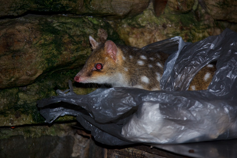 Inquisitive eastern quoll looking for food, Kitchen Hut, Overland Track, Cradle Mountain - Lake St Clair National Park, Tasmania, Austalia