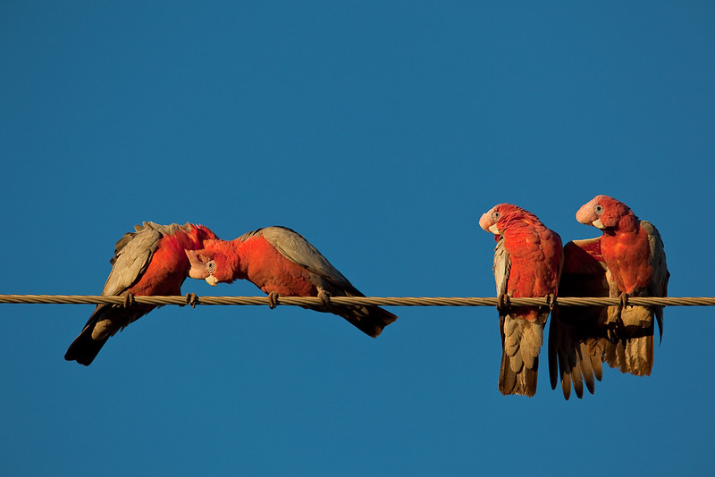Galahs, Exmouth, Western Australia, Australia