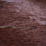 Black-headed python crossing a wet dirt road, Wyndham near Parry Creek Farm, Western Australia, Australia