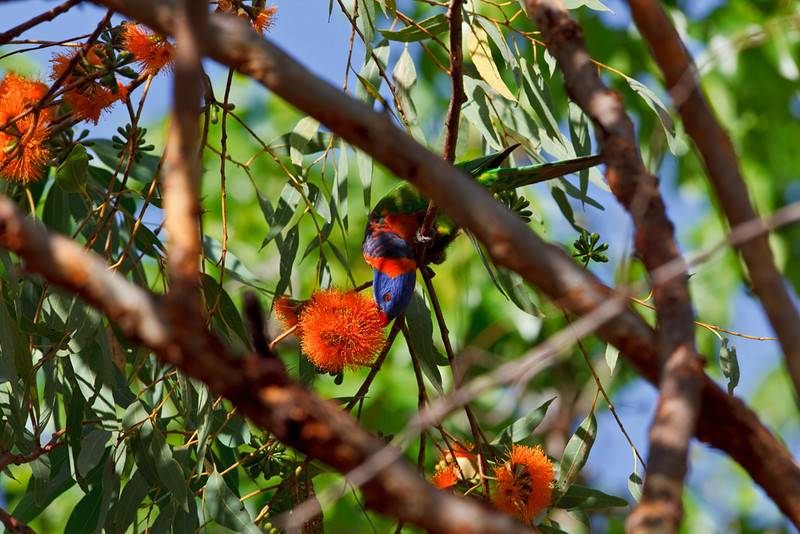 Red-collared lorikeet feeding, Nitmuluk National Park, Northern Territory, Australia