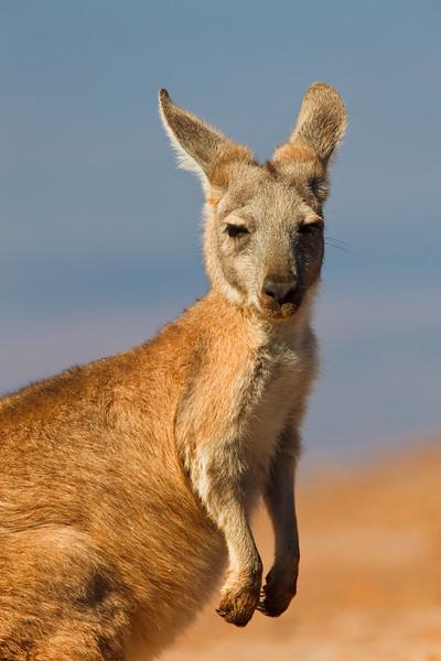 Euro, Cape Range National Park, Western Australia, Australia