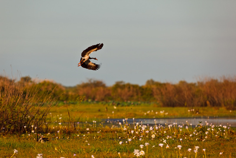 Magpie goose taking off, Corroboree Billabong, Mary River National Park, Northern Territory, Australia
