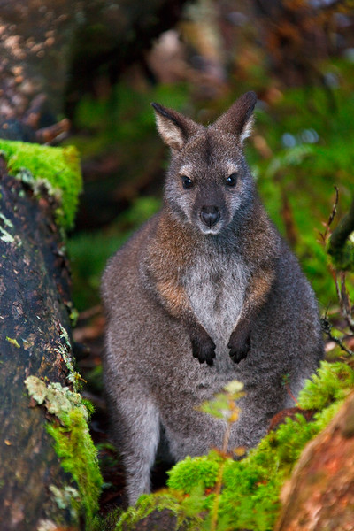 Bennett's wallaby, Cradle Mountain - Lake St Clair National Park, Tasmania, Australia