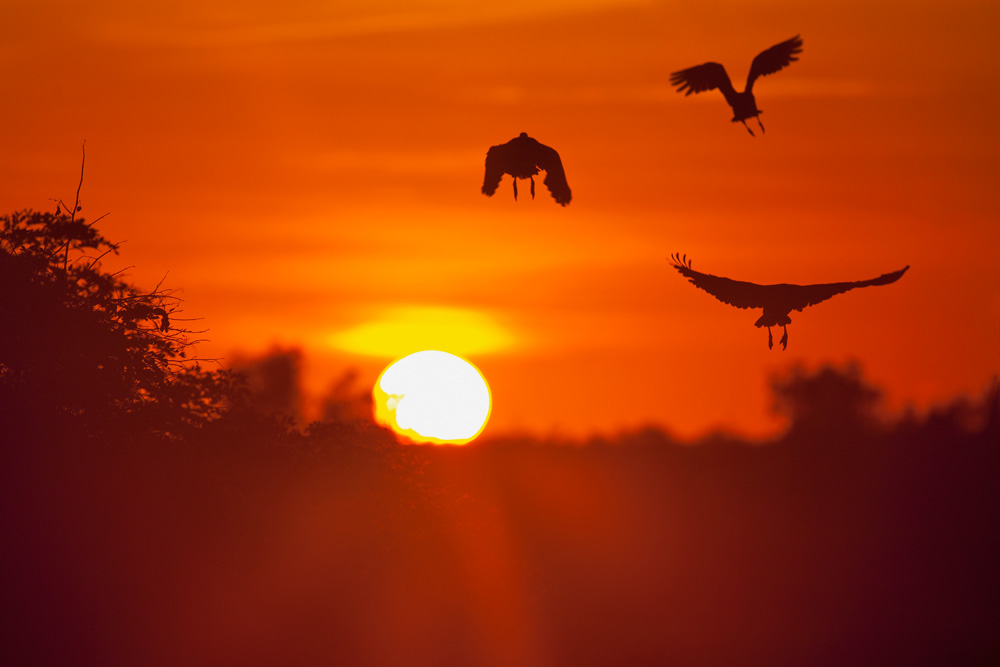 Silhouette of three plumed whistling-ducks flying up at sunrise, Cooinda, Kakadu National Park,  Northern Territory, Australia