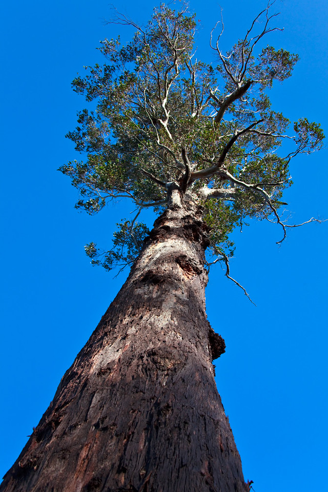 Tall tree, Cradle Mountain - Lake St Clair National Park, Tasmania, Australia