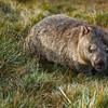Common wombat, Ronny Creek area, Cradle Mt. - Lake St. Clair National Park, Tasmania, Australia