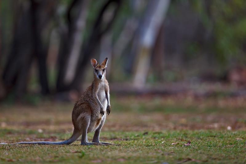 Euro, Nitmuluk National Park, Northern Territory, Australia