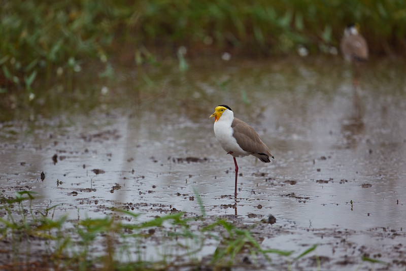 Masked lapwing standing on one leg,  Parry Lagoons Nature Reserve, Kimberley Region, Western Australia, Australia