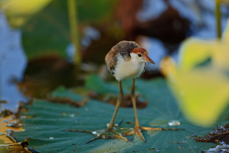 Comb-crested jacana chick on a waterlilly, Corroboree Billabong, Mary River National Park, Northern Territory, Australia