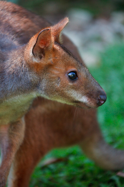 Red-legged pademelon, Kuranda Koala Gardens, Clifton Beach, Queensland, Australia