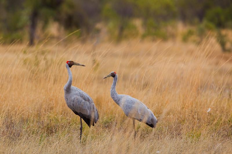 Brolgas on open grassland, Western Australia, Australia