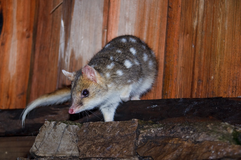 Inquisitive eastern quoll, Kitchen Hut, Overland Track, Cradle Mountain - Lake St Clair National Park, Tasmania, Austalia