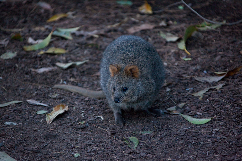 Quokka, Taronga Zoo, Mosman, New South Wales, Australia