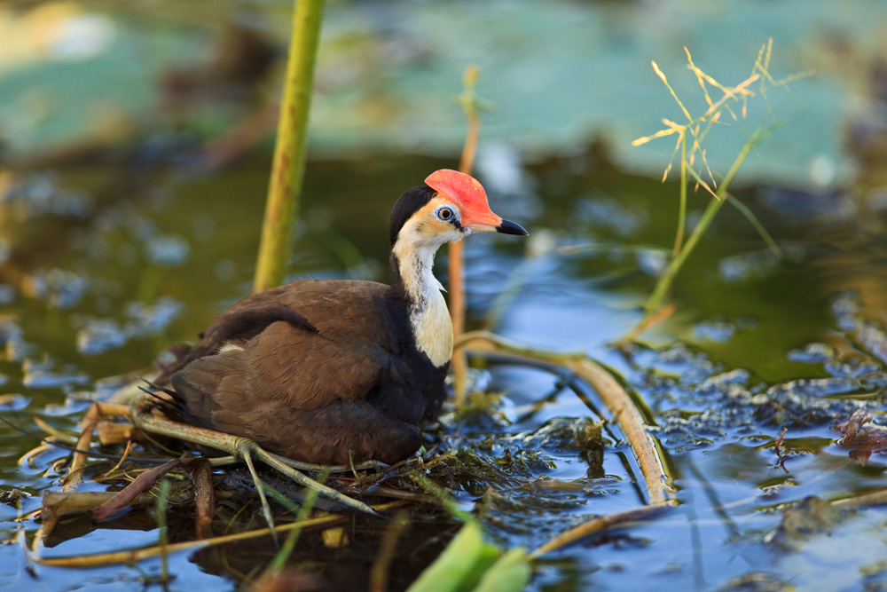 Comb-crested jacana on its nest, Corroboree Billabong, Mary River National Park, Northern Territory, Australia