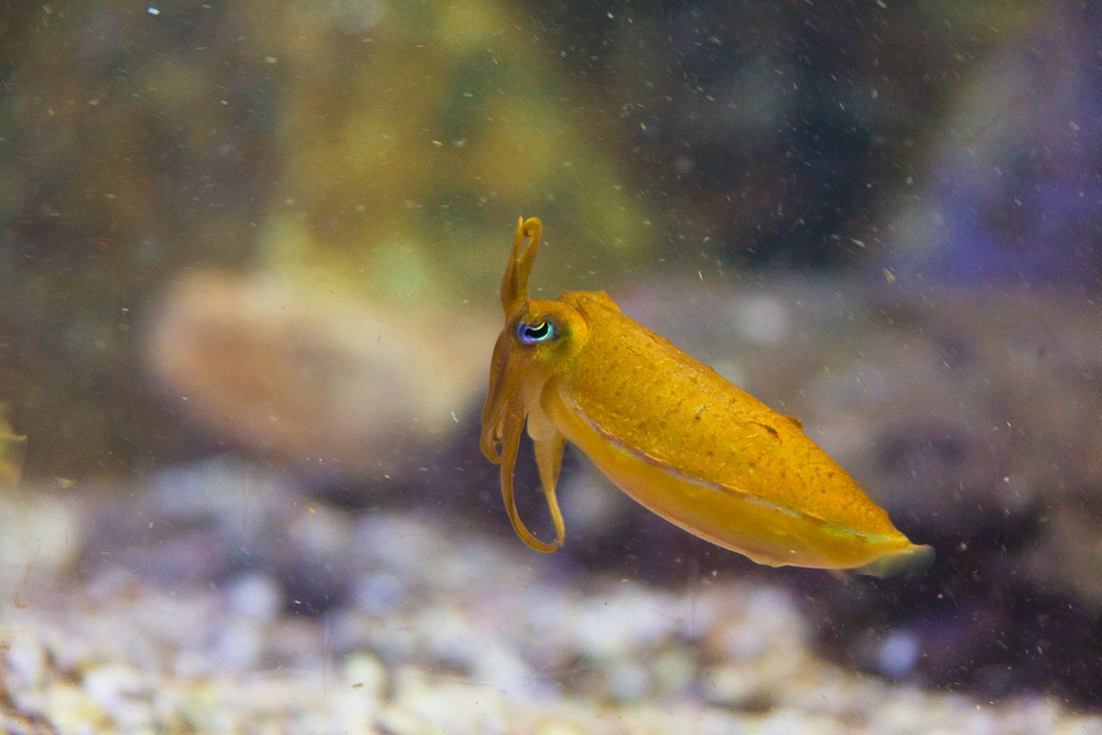 Mourning cuttlefish, Sydney Aquarium, Sydney, New South Wales, Australia