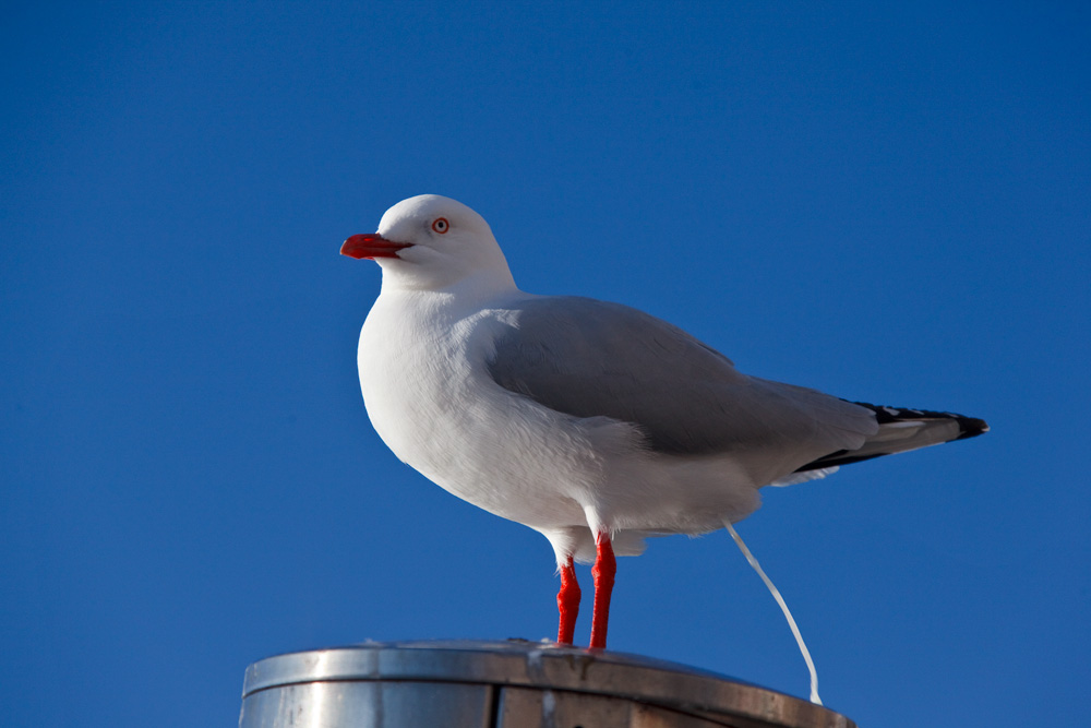 Gull taking a shit, Sydney Harbour, New South Wales, Australia