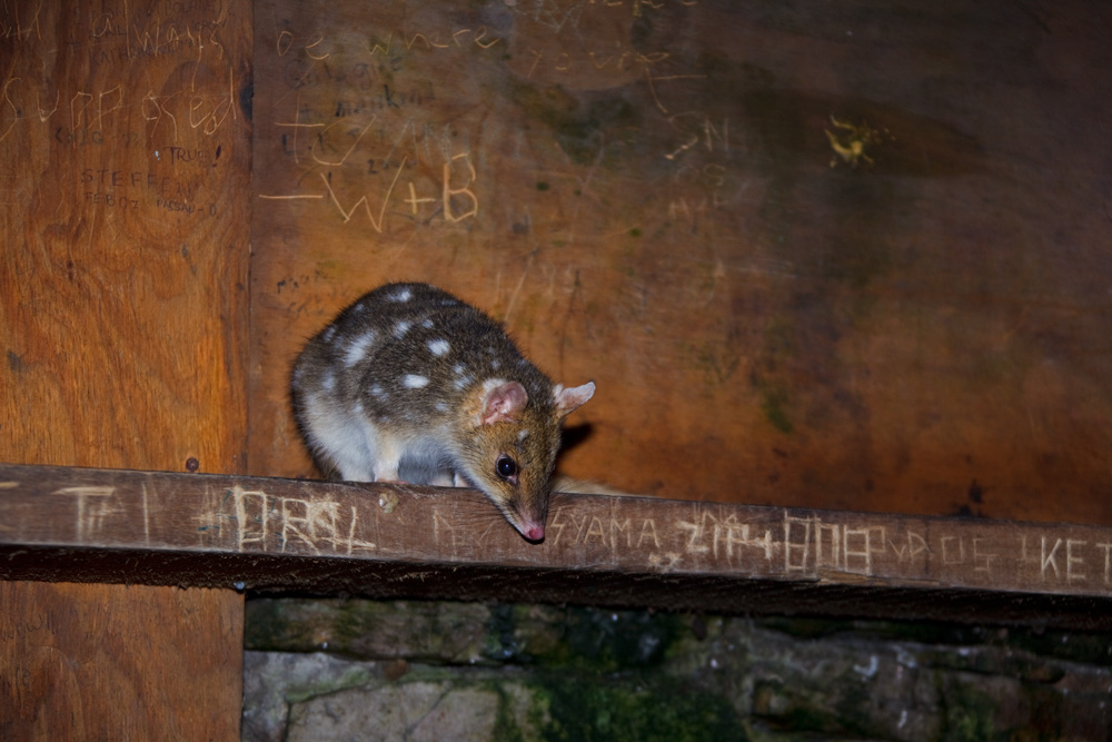 Who's the visitor? Eastern quoll looking for food in the Kitchen Hut, Overland Track, Cradle Mountain - Lake St Clair National Park, Tasmania, Austalia