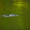Platypus, Tarzali Lakes Aquaculture Centre, Malanda, Atherton Tableland, Queensland, Australia