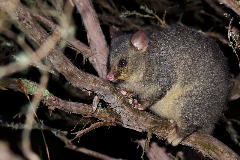 Common brushtail possum at night, Cradle Mountain - Lake St Clair National Park, Tasmania, Australia