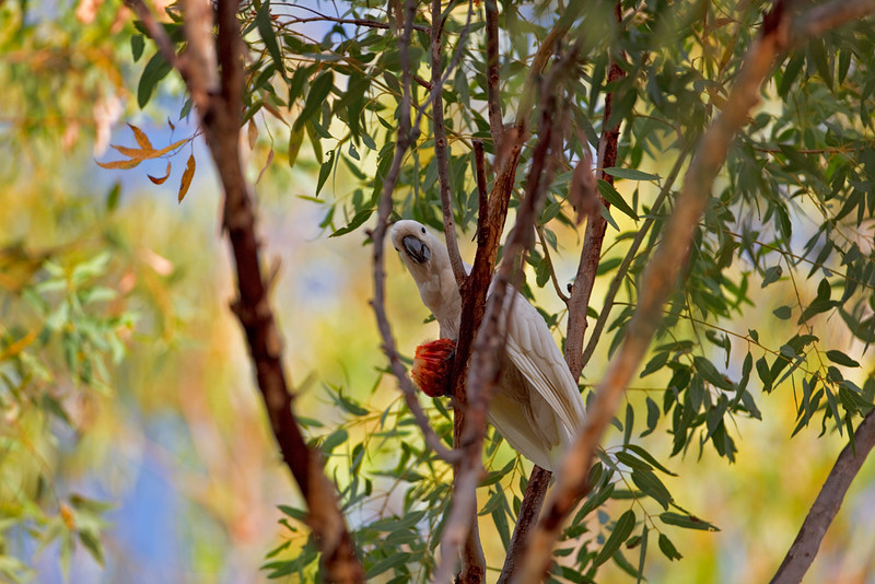 Sulphur-crested cockatoo feeding, Nitmuluk National Park, Northern Territory, Australia
