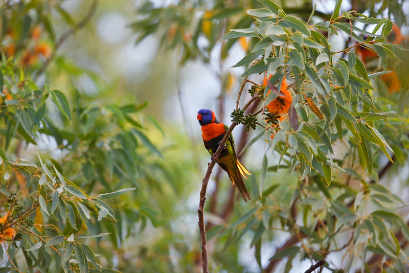 Red-collared lorikeet looking for food, Nitmuluk National Park, Northern Territory, Australia