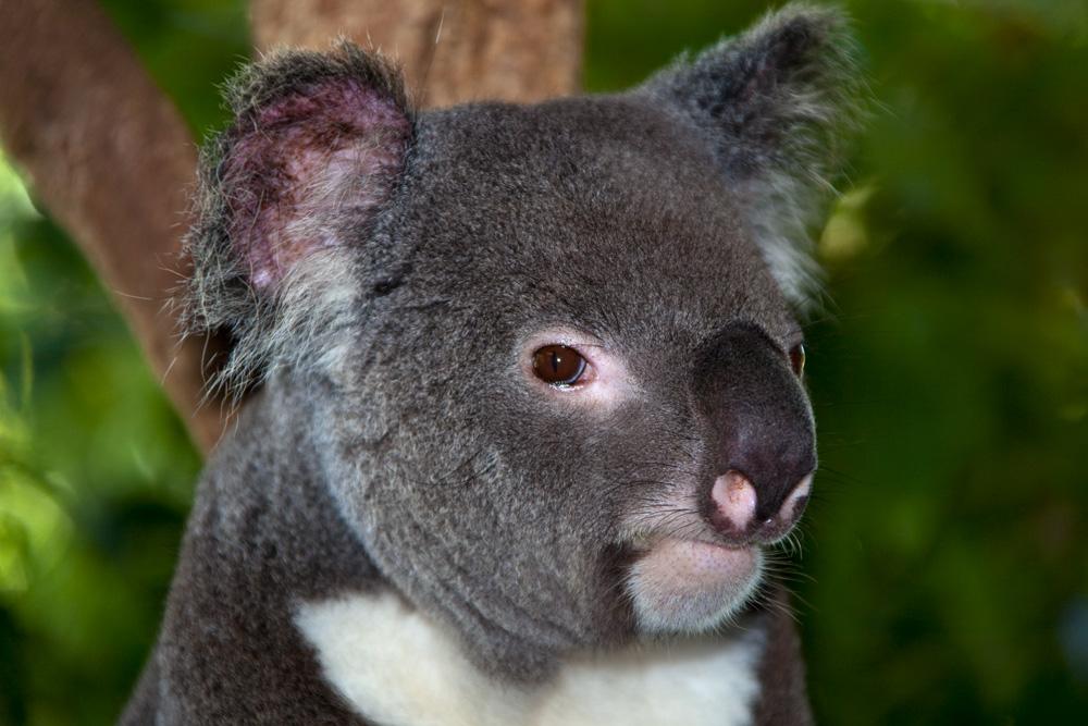 Koala, Kuranda Koala Gardens,  Clifton Beach, Queensland, Australia