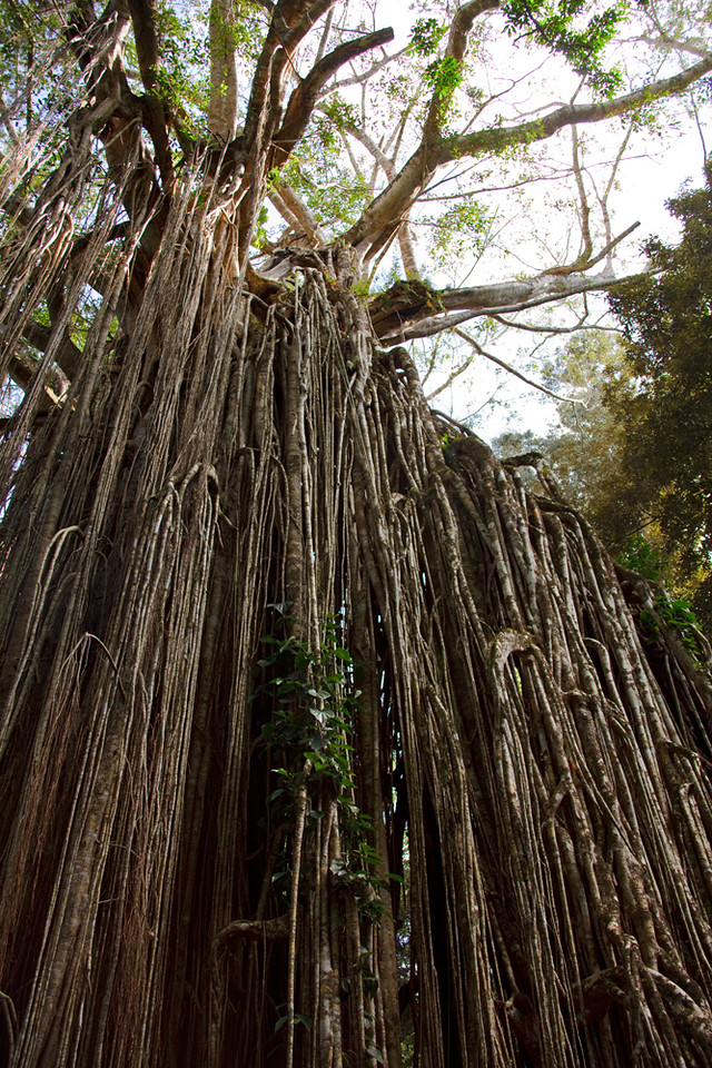 Curtain Fig Tree, Yungaburra, Atherton Tableland, Queensland, Australia