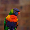 Rainbow lorikeet showing off, The Rocks, Sydney, New South Wales, Australia