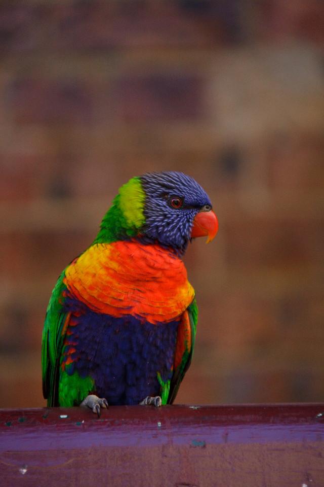 Rainbow lorikeet showing off, The Rocks, Sydney, New South Wales, Australia