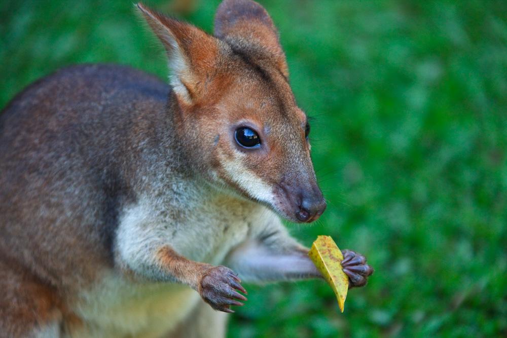 Red-legged pademelon feeding, Kuranda Koala Gardens, Clifton Beach, Queensland, Australia
