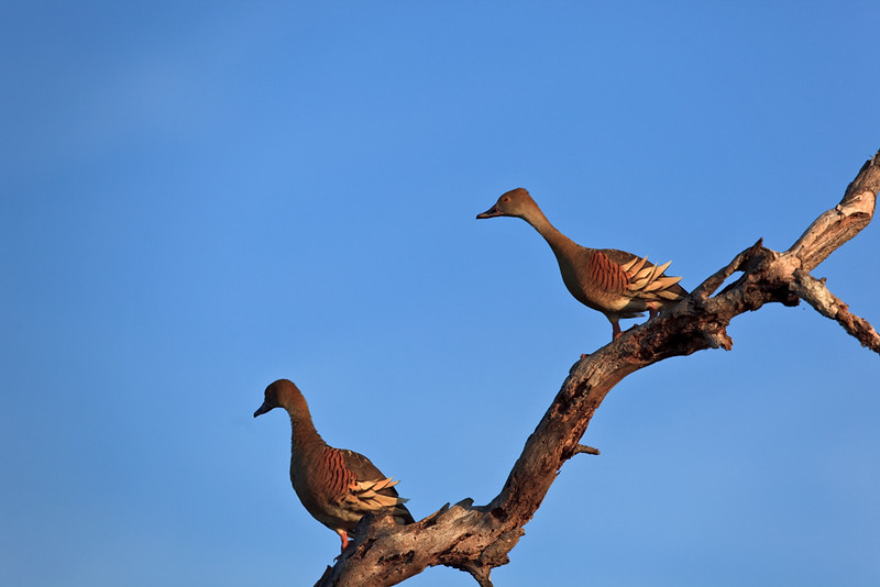 Plumed whistling-ducks, Cooinda, Kakadu National Park,  Northern Territory, Australia