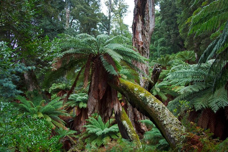 Temperate rainforest, Cradle Mountain - Lake St Clair National Park, Tasmania, Australia
