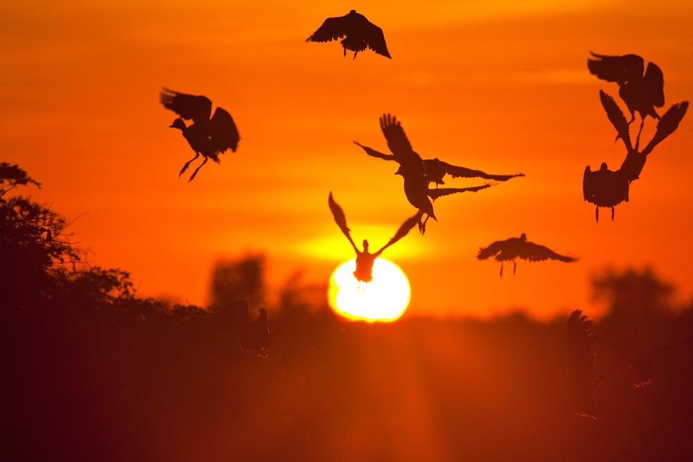 Silhouette of a flock of plumed whistling-ducks flying up at sunrise, Cooinda, Kakadu National Park,  Northern Territory, Australia