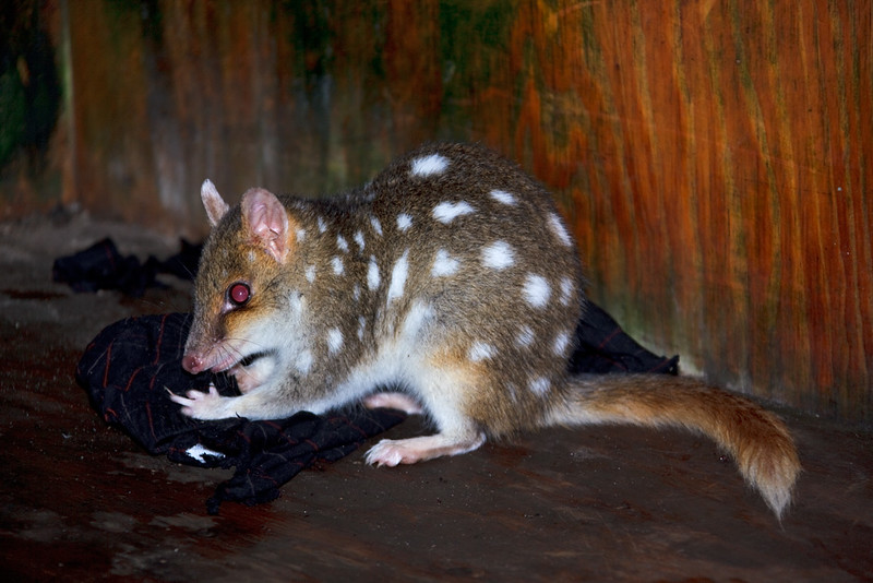 Eastern quoll looking for food in the Kitchen Hut, Overland Track, Cradle Mountain - Lake St Clair National Park, Tasmania, Austalia