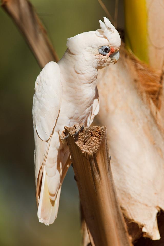 Little corella, Exmouth, Western Australia, Australia