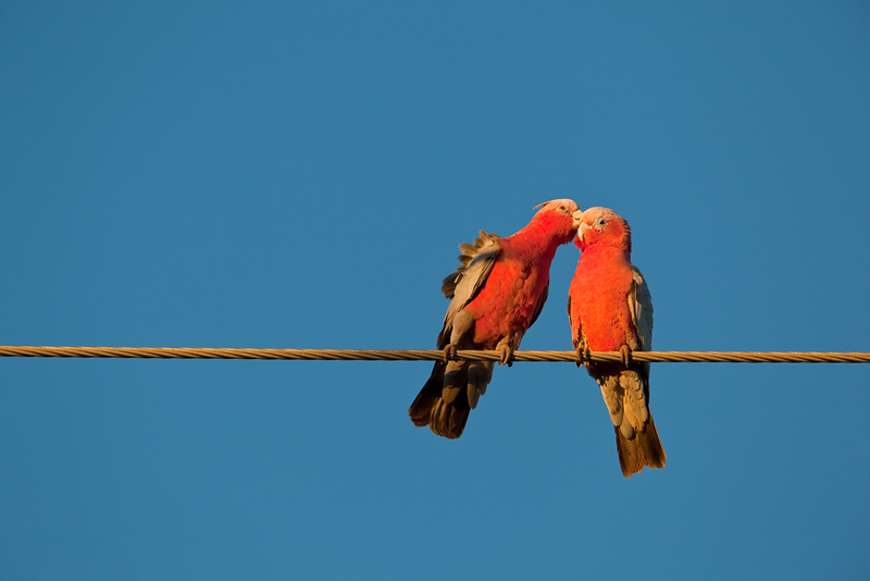 Galah grooming the other, Exmouth, Western Australia, Australia