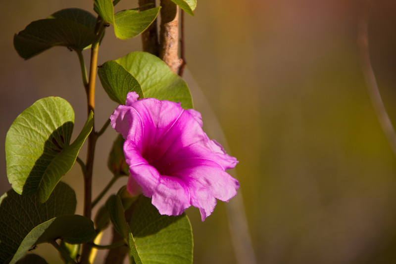 Flower, Cape Range National Park. Western Australia, Australia