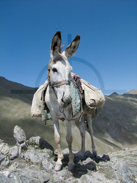 Pack animal, Laudan Pass, Fan Mountains, Tajikistan