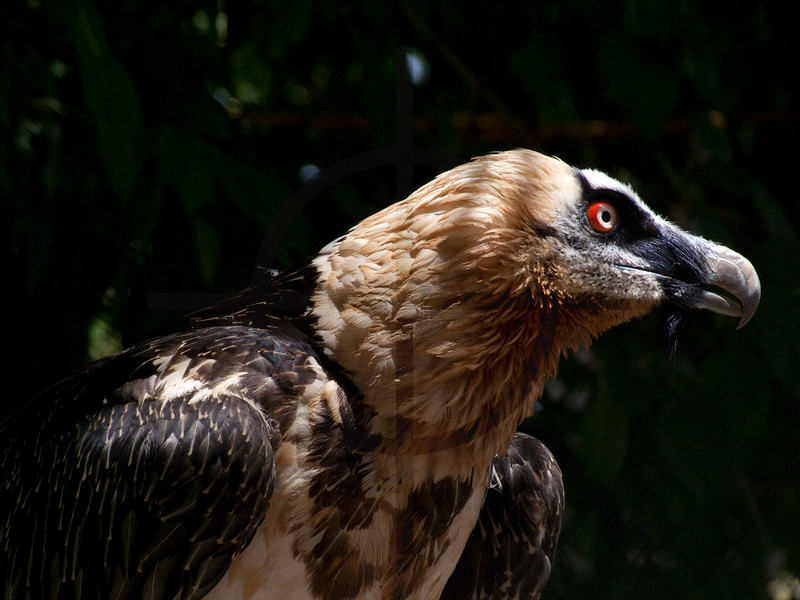 Bearded vulture, Dushanbe Zoo, Tajikistan