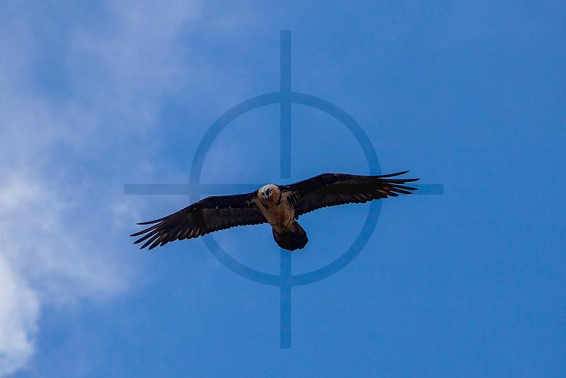 Adult bearded vulture, above the hamlet of Dzongla, Sagarmatha National Park, Nepal
