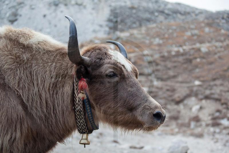 Yak, Gorak Shep, Solukhumbu District, Nepal