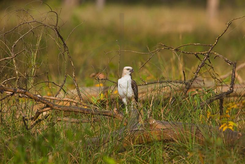 Changeable hawk eagle (juvenile), Bardia National Park, Nepal