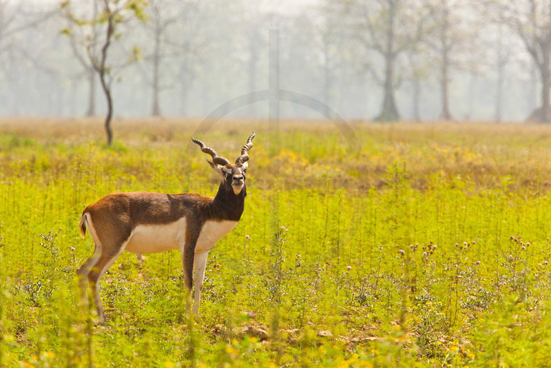 Blackbuck (male), Blackbuck Conservation Area, Khairapur VDC, Bardia District, Nepal