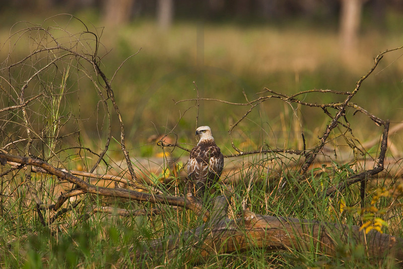 Changeable hawk eagle (juvenile) turning its head, Bardia National Park, Nepal