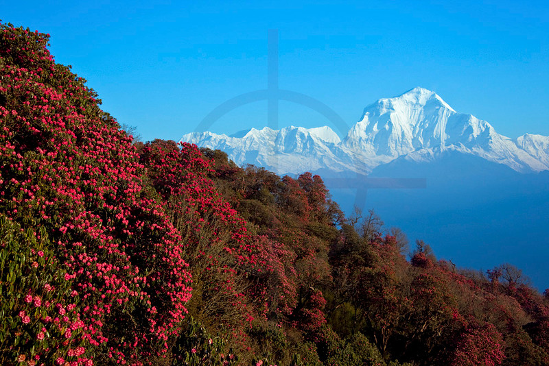 Dhaulagiri with blooming rhodondendrons in front, in between Poon Hill and Ghorepani, Annapurna Massif, Nepal