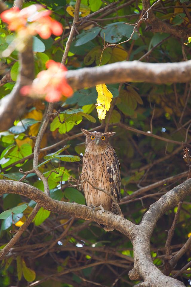 Brown fish owl (male), Royal Bardia National Park