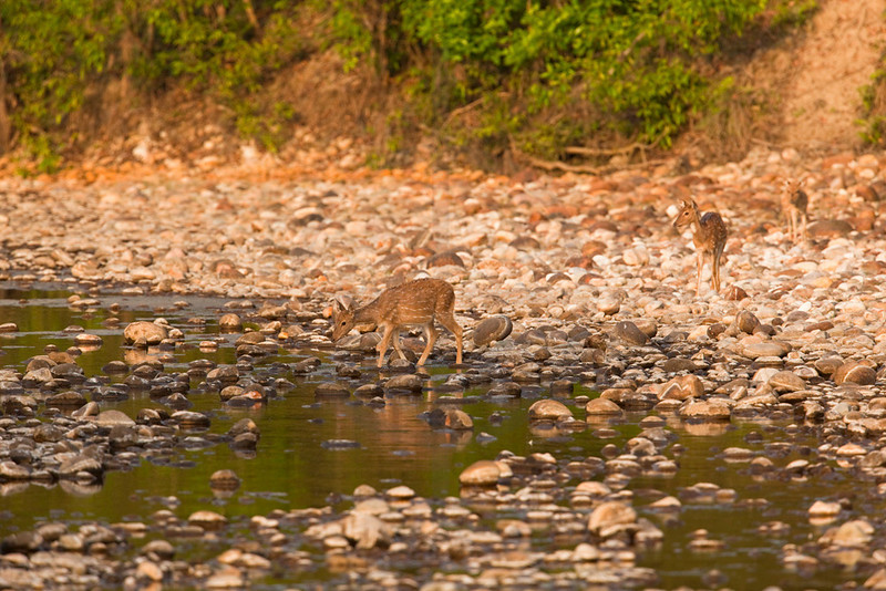 Spotted deer (does) coming to a river for a morning drink, Royal Bardia National Park, Nepal