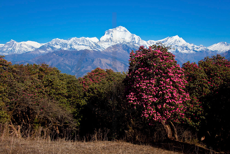 Dhaulagiri with blooming rhodondendrons in front, near Gurung Hill, Annapurna Massif, Nepal